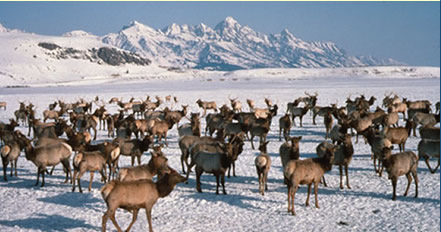 Wapiti on the National Elk Refuge